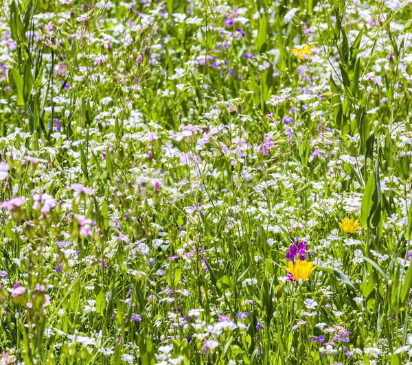 Színes vadvirágok legelő gyönyörű tavasz fű Stock fotó © meinzahn