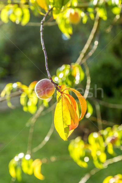 Brzoskwinia niedojrzały owoców oddziału drzewo wygaśnięcia Zdjęcia stock © meinzahn