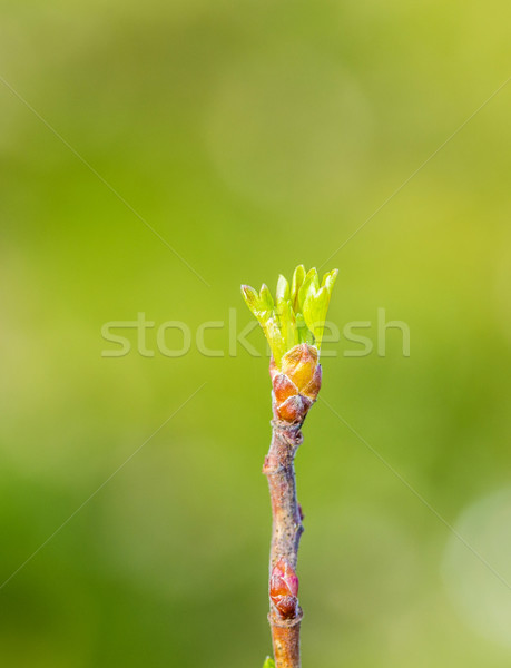 green bud of tree grows in spring Stock photo © meinzahn