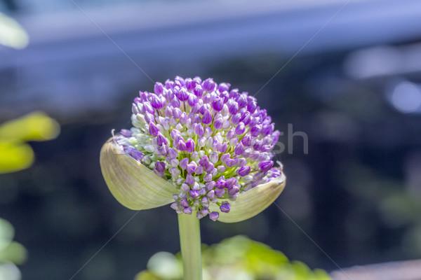 Stock fotó: Rózsaszín · virág · virágok · nyitva · zöld · kezdet