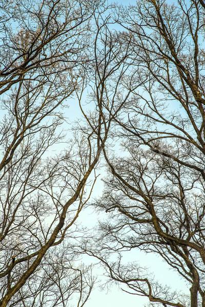 Silhouettes chêne arbres ciel bois forêt Photo stock © meinzahn