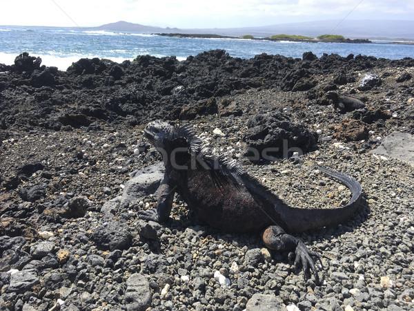 Mariene leguaan ontspannen vulkanisch landschap strand Stockfoto © meinzahn
