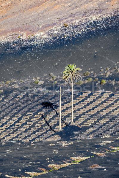 vineyards of La Geria on volcanic soil Stock photo © meinzahn