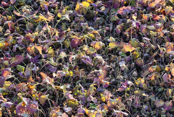 Campo cosecha plantas puesta de sol colorido naturaleza Foto stock © meinzahn
