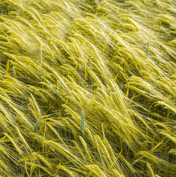 golden spica of corn in acre Stock photo © meinzahn
