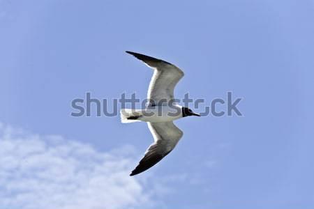 Mewa pływające ptaków niebieski wolności latać Zdjęcia stock © meinzahn