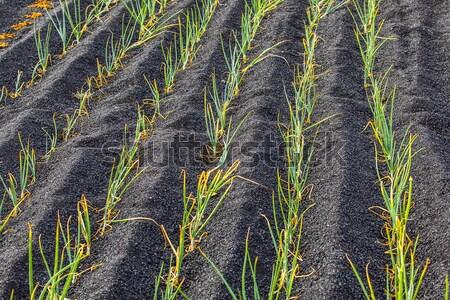 Cebollas isla creciente volcánico suelo vino Foto stock © meinzahn