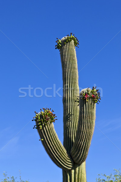 beautiful cacti in landscape Stock photo © meinzahn