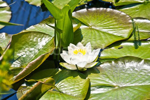 white lotus water lily in lake Stock photo © meinzahn