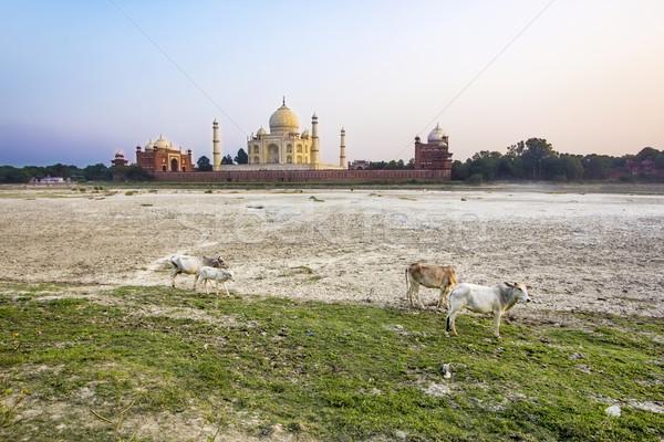 Taj Mahal rivière coucher du soleil vaches amour soleil Photo stock © meinzahn