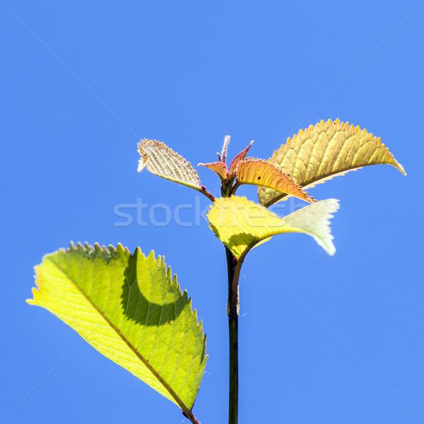 leaves of tree under blue sky  Stock photo © meinzahn