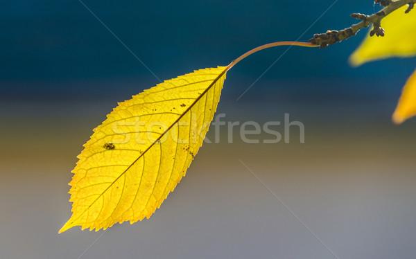 Kers boom bladeren blauwe hemel harmonisch najaar Stockfoto © meinzahn