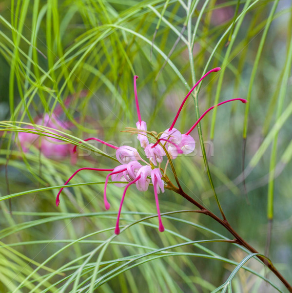 tropical blooming spider flower Stock photo © meinzahn