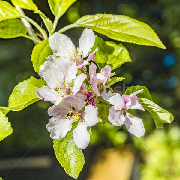 blooming apple bud in spring  Stock photo © meinzahn