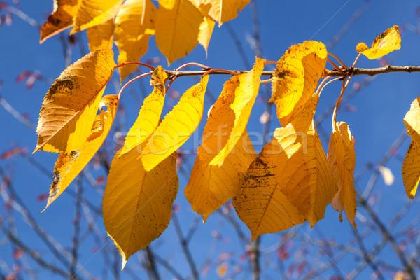 Sarı sonbahar yaprakları asılı huş ağacı ağaç mavi gökyüzü Stok fotoğraf © meinzahn