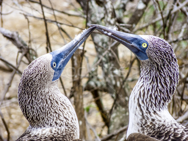 Close up of blue footed booby at Galapagos island of North Seymo Stock photo © meinzahn