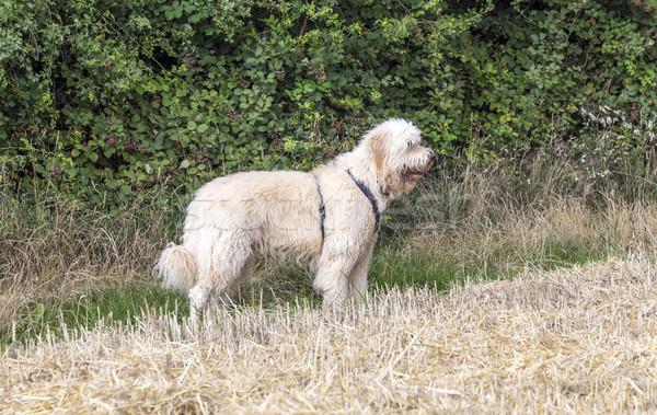 west highland white terrier on a green grass outdoors  Stock photo © meinzahn