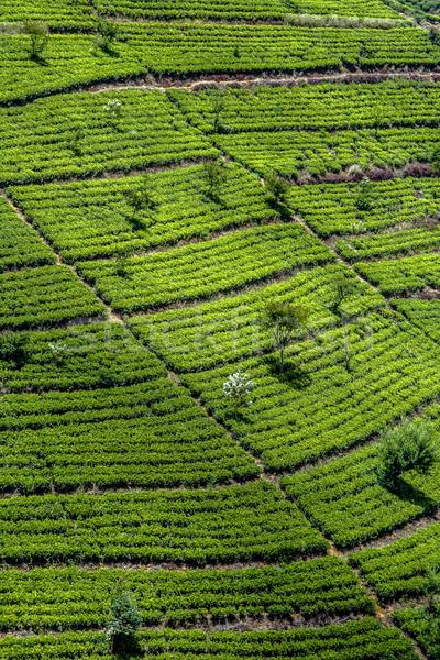 green tee terrasses in the highland from Sri Lanka in  fog near  Stock photo © meinzahn
