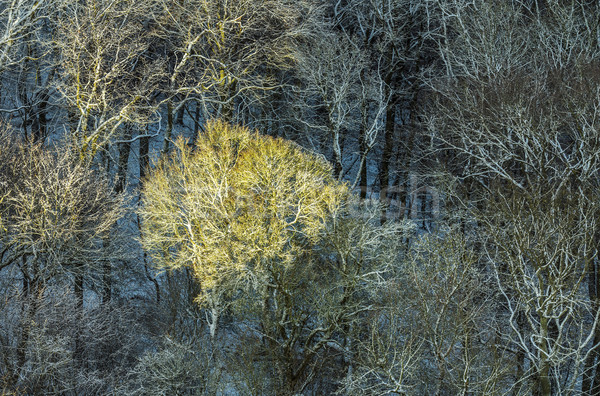 Fenyőfa napfény fagyos levelek légi Stock fotó © meinzahn