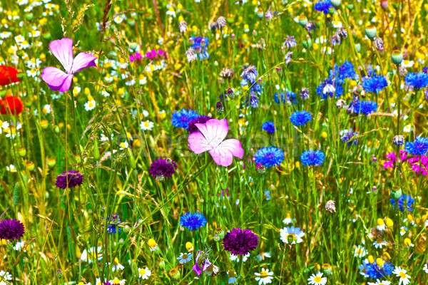 colorful wildflowers in the meadow Stock photo © meinzahn