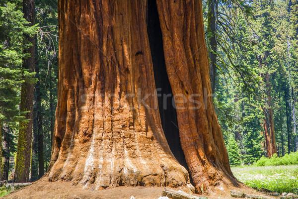 Szczegół starych sekwoja drzew parku ogromny Zdjęcia stock © meinzahn