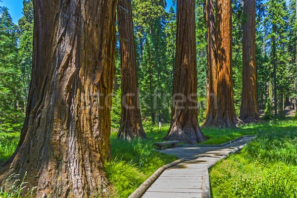 Sekwoja drzewo lasu parku starych ogromny Zdjęcia stock © meinzahn