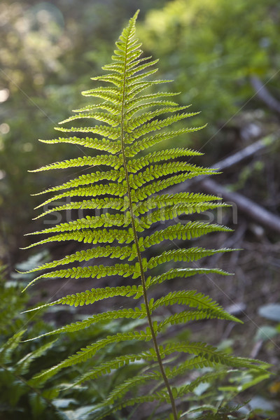 緑 シダ 森林 太陽 葉 ストックフォト © meinzahn