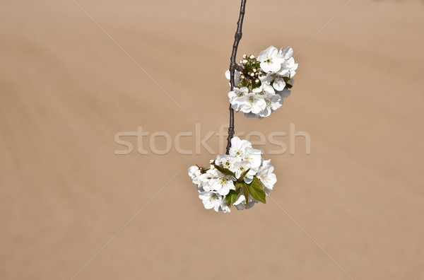 Primo piano ramo fiorire primavera bianco cielo Foto d'archivio © meinzahn