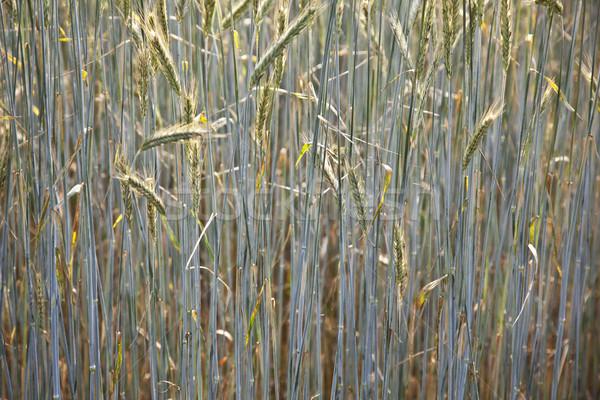 Maïs domaine lance belle alimentaire feuille Photo stock © meinzahn
