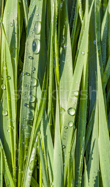 Green wheat grass with dewdrops in the morning Stock photo © meinzahn
