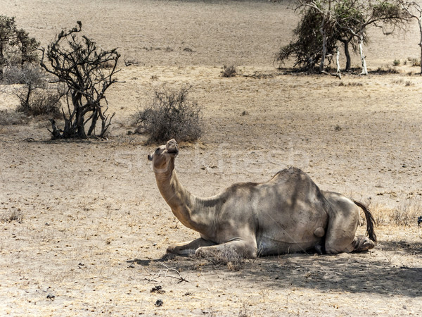camels have a rest under a tree in the Ngorongoro national park Stock photo © meinzahn