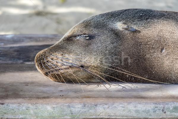 seal relaxes at the beach  Stock photo © meinzahn