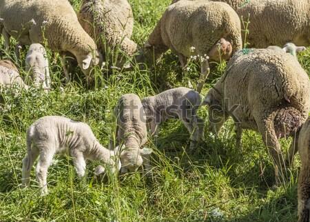 Moutons vert organique augmenté Photo stock © meinzahn