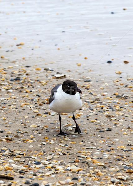 seagull walking at the sandy beach  Stock photo © meinzahn