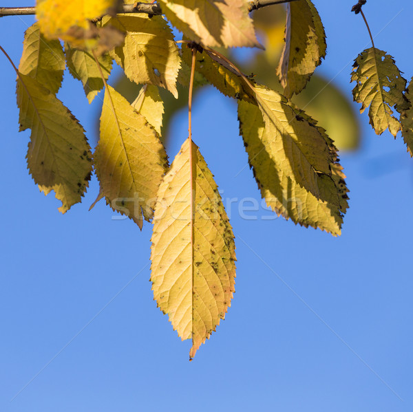 autumn leaves, very shallow focus  Stock photo © meinzahn
