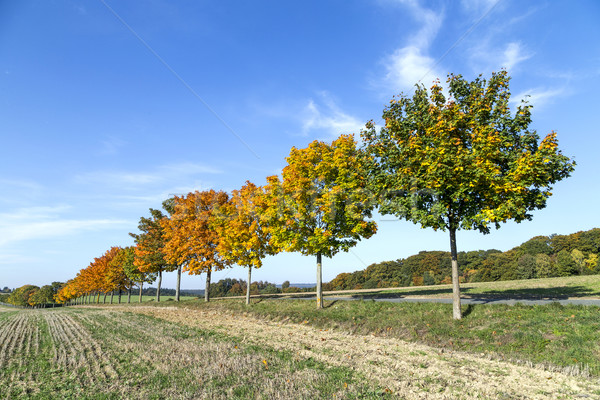 tree alley in indian summer colors Stock photo © meinzahn