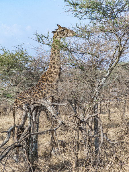 Giraffe voedsel bomen serengeti Tanzania Stockfoto © meinzahn