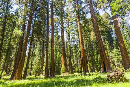 Alto grande bella sequoia parco albero Foto d'archivio © meinzahn