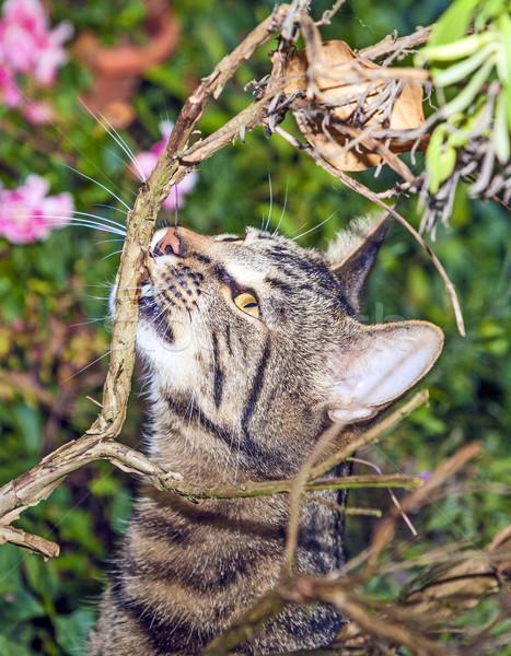 Zdjęcia stock: Kot · polowanie · ogród · twarz · trawy · oczy