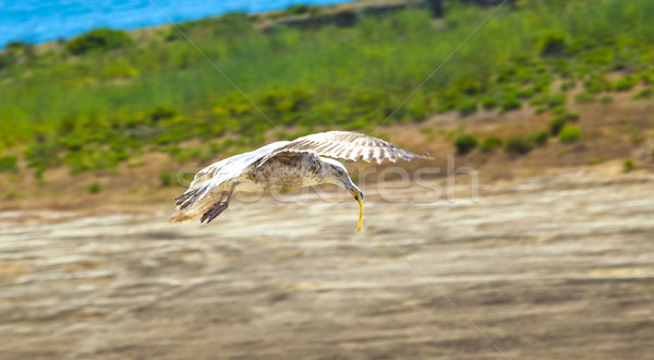 california gull with french fries in the pecker Stock photo © meinzahn