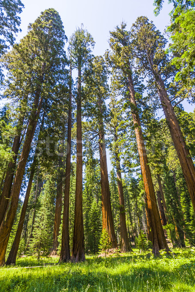 big sequoia trees in Sequoia National Park near Giant village ar Stock photo © meinzahn
