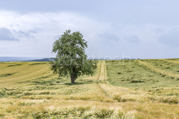 Wide landscape with some trees in the Eifel Stock photo © meinzahn