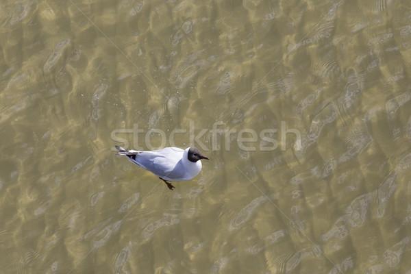 Gaviota costa vuelo natación cielo Foto stock © meinzahn