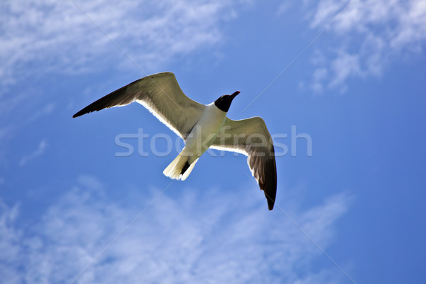 Stock photo: seagull is flying