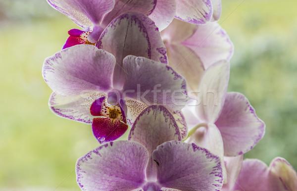 Ibolya virágzó orchideák otthon ablak Stock fotó © meinzahn