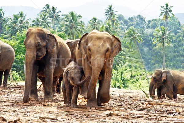 elefant family in open area Stock photo © meinzahn