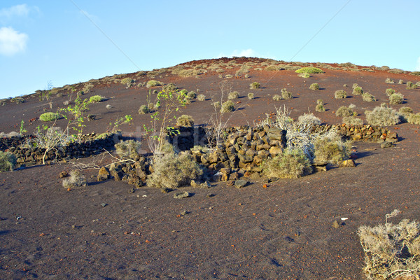 vegetation in vulcanic area in Lanzarote Stock photo © meinzahn