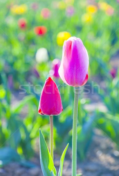 Kettő tulipánok harmónia szeretet mező húsvét Stock fotó © meinzahn