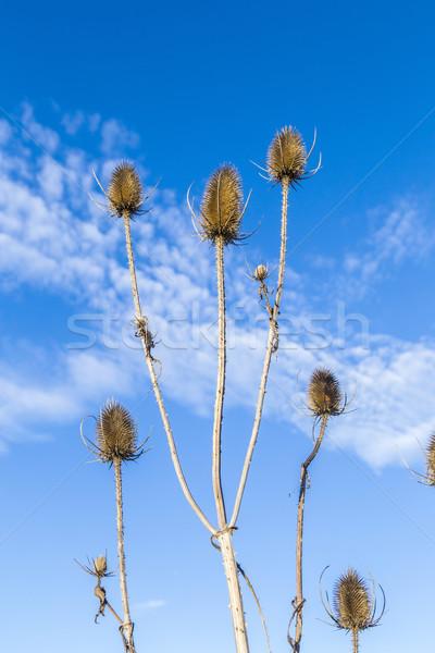 thistles in a field under blue sky  Stock photo © meinzahn