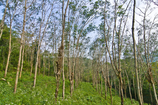 Kauçuk ağaç tarla Tayland ahşap çalışmak Stok fotoğraf © meinzahn